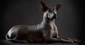DÍA DEL LIBRO. Xocolatl, el xoloitzcuintle mexicano